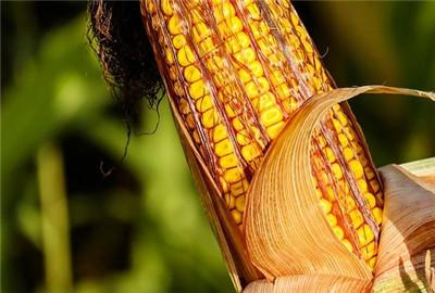 辽宁玉米价格保险实施理赔兑付