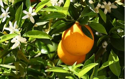 8年减了10万亩 上海柑橘今后怎么种?