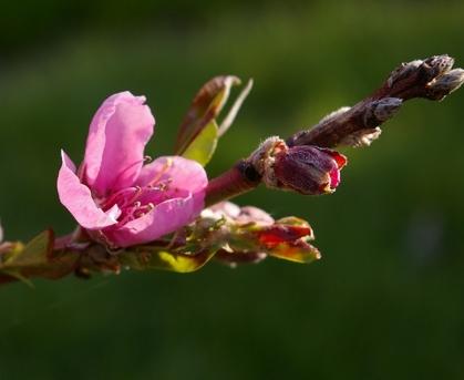 桃树什么时候移栽?什么时候施肥最好?