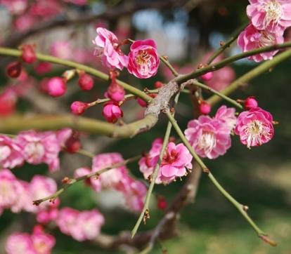 梅花树什么时候移栽最好?栽培方式有哪些?什么时候开花?