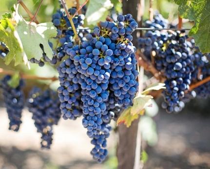 种植一亩葡萄需要投资多少钱,葡萄种植效益如何?