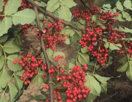 花椒树苗什么时间种植移栽好?主要品种有哪些?