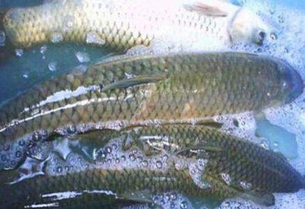 养草鱼利润微薄?分享三种盈利较好的养殖模式