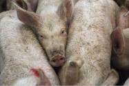 年前年后猪价大涨大跌 养殖户如何应对?(预计2017春节猪价如何)