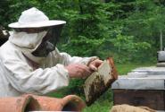 2017年蜜蜂养什么品种赚钱?