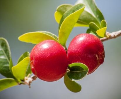 樱桃树种植最佳时间 什么时候移栽 种植几年结果图片