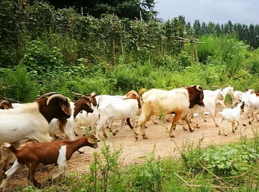 2017年养羊赚钱怎样降低饲养成本呢?