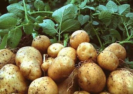 马铃薯价格预测分析:马铃薯种植效益如何