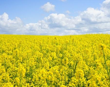 油菜几月播种?什么时候开花?种植技术要点是什么?