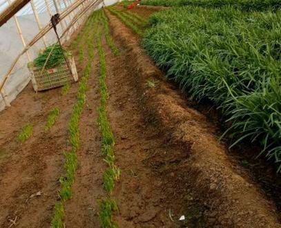 不同地区的韭菜是在几月播种的?怎样种植最好?