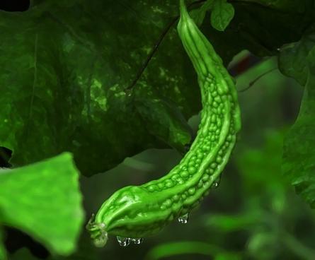 葫芦科苦瓜几月播种?功效与作用有哪些?