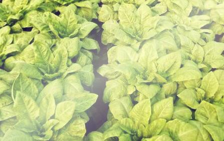 云南大理南涧县蔬菜病虫害的生物防治技术和注意事项