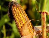 2017年玉米去库存最新消息:后市价格风险较大该出手时就出手(附最新价格)