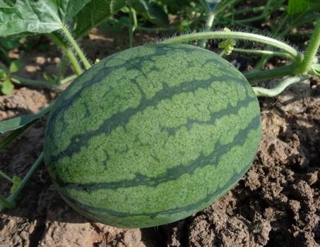 西瓜苗什么时候定植移栽最好?需要注意哪些事项?