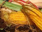 国家对玉米市场做出四大调整,2017种玉米不赔钱!(附玉米价格)