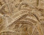 优质小麦价格最新行情!山东小麦价格行情数据!