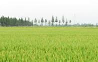 2017年种粮农民直接补贴(粮食直补)政策有变化吗  补贴如何发放?