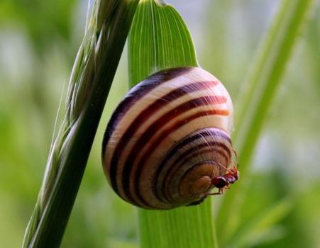 蜗牛是什么动物?是益虫还是害虫?对农作物有害吗?