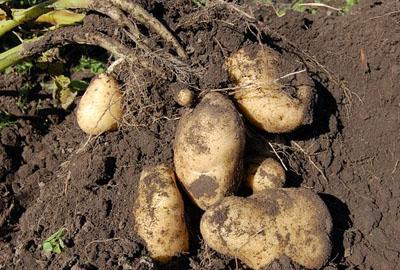 2017年四川凉山州人民政府 关于抓好2017年马铃薯产业发展的意见