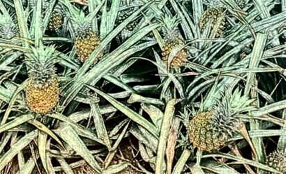 我国菠萝需肥特点以及丰产施肥技术、时间