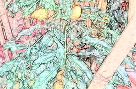 我国龙眼需肥特点以及丰产施肥技术、时间