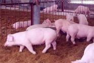 2017年养猪补贴标准及新政策