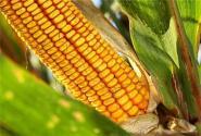 山东省农业厅关于印发《2017年夏玉米生产技术意见》的通知