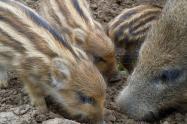 特种野猪价格多少钱一斤?野猪苗养殖前景如何?(附成本利润分析)