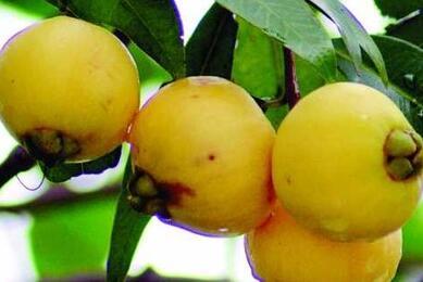 南方木葡萄树长什么样?大概种植几年后可以开花结果?