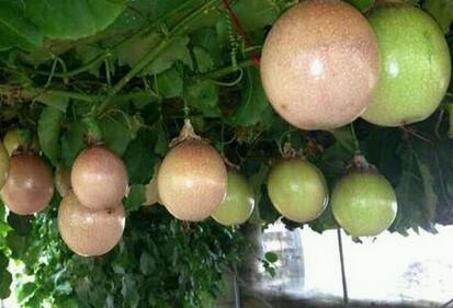 藤本植物鸡蛋果树长什么样?一般栽下几年后可以开花结果?