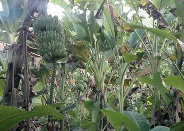 多年生草木芭蕉树长什么样?一般种植几年后可以开花结果?