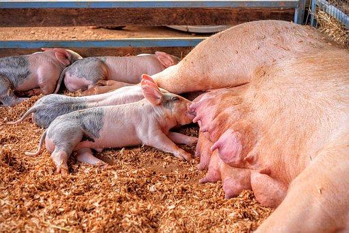 90后小伙养200头母猪,分娩率90%以上,如何做到的?