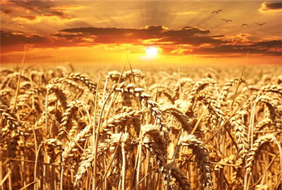 """环保部土司司长:""""涉镉""""小麦正检测 结果尚未发布"""