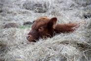 农村小规模养牛前景如何?这个方法让你养牛收入10万元