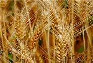 一天当中小麦什么时候收割最好?小麦收割前有啥注意事项?