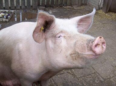 2017下半年猪肉价格走势成迷,政策保护和下行空间同在?