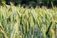 """2017新小麦收购进入高峰期,为何价格""""南高北低""""?"""