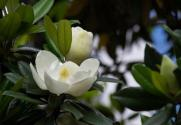 广玉兰(荷花玉兰)是玉兰吗?一般什么时候开花?有什么用途?