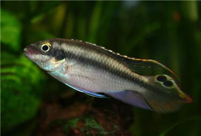 鲈鱼是发物吗 是海鱼还是淡水鱼