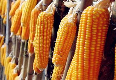 2017年山东等13省农村的玉米保险一亩能赔多少钱?