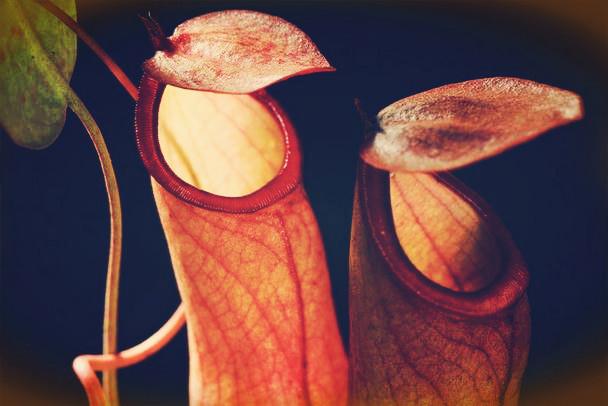 花瓶草是猪笼草吗?长什么样子?怎么养?