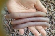 沙虫价格多少钱一斤?怎么做好吃?它和海肠有什么区别?