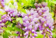 紫藤萝花像什么?有什么作用?一般在几月开花?