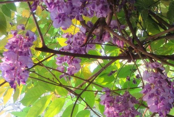 紫藤花有什么含义?一般移栽几年开花?种子多少钱一斤?