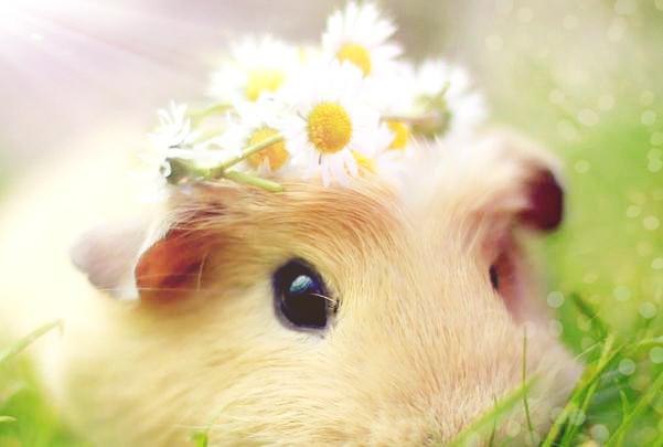 荷兰猪的价格是多少钱一只?怎么饲养?最爱吃什么草?
