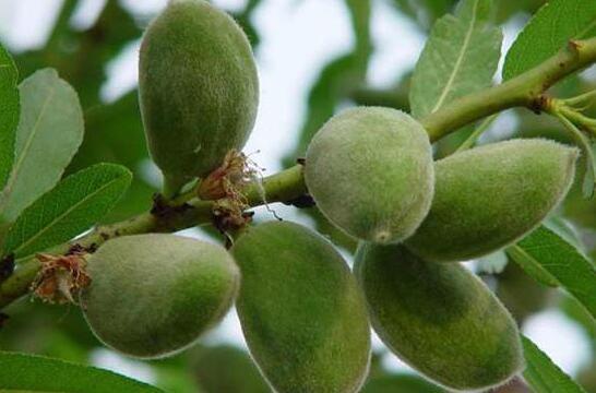 我国种植的7种坚果树 易种植 赚钱多