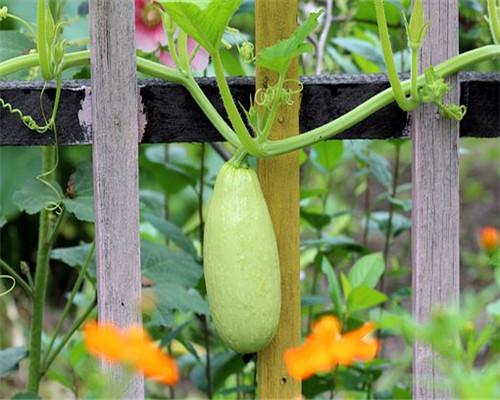 西葫芦又叫什么?可以生吃吗?种植时间是几月份?怎样种植?