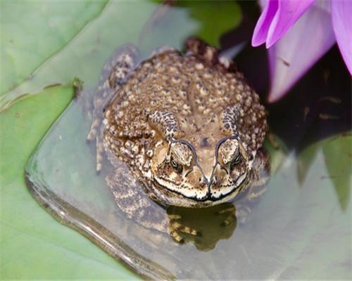 石蛙蝌蚪吃什么_蝌蚪演变过程简笔画_蝌蚪演变过程简笔画画法