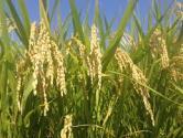 超级稻启动收割创世界新纪录 巨人稻,海水稻,去镉稻等新品种表现如何?