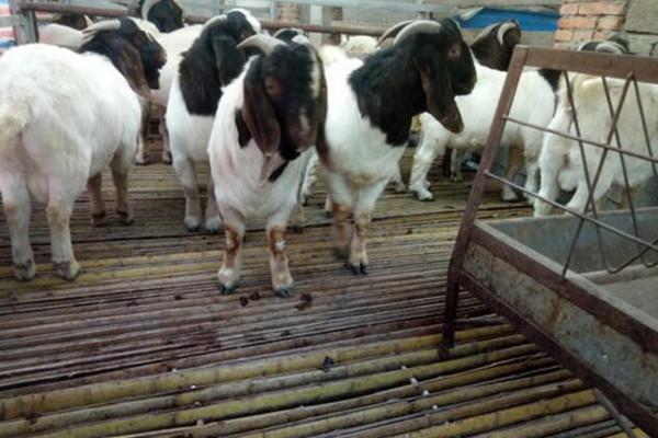 波尔山羊多少钱一斤 养殖50头波尔山羊一年利润多少